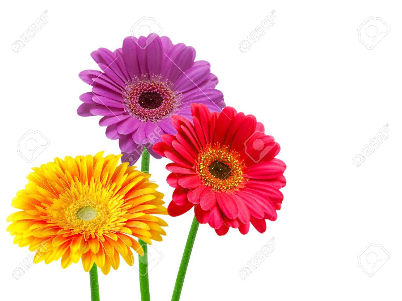 gerber flower isolated on white background Stock Photo - 11208531