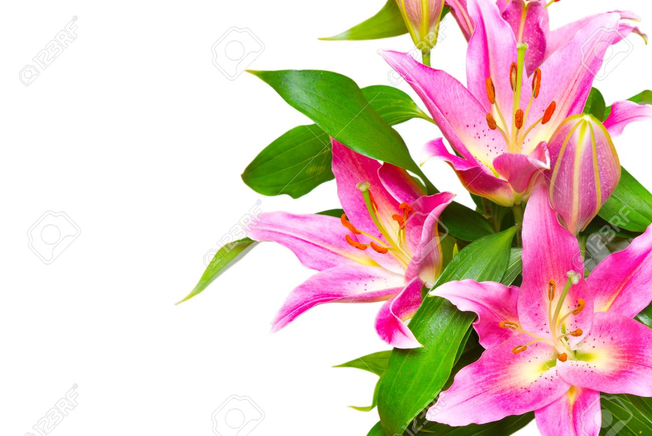 Beautiful Pink Lilies Flower Isolated On White Stock Photo Picture