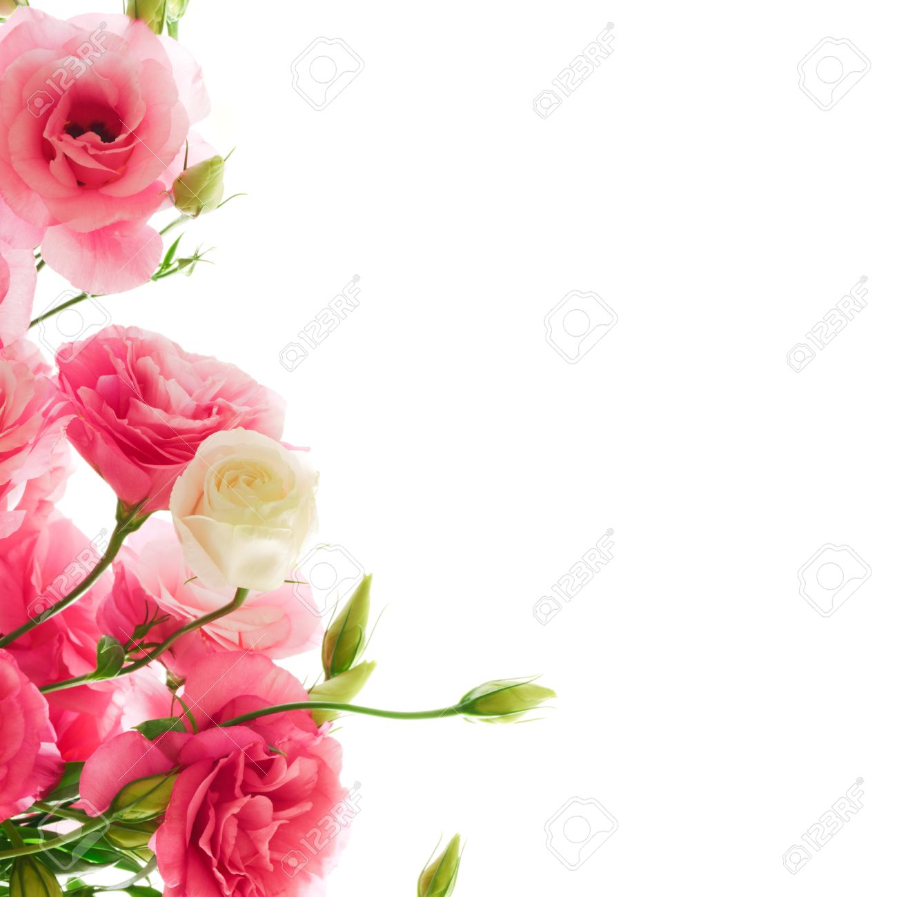 Beautiful Pink Eustoma Flower On The White Background Natural