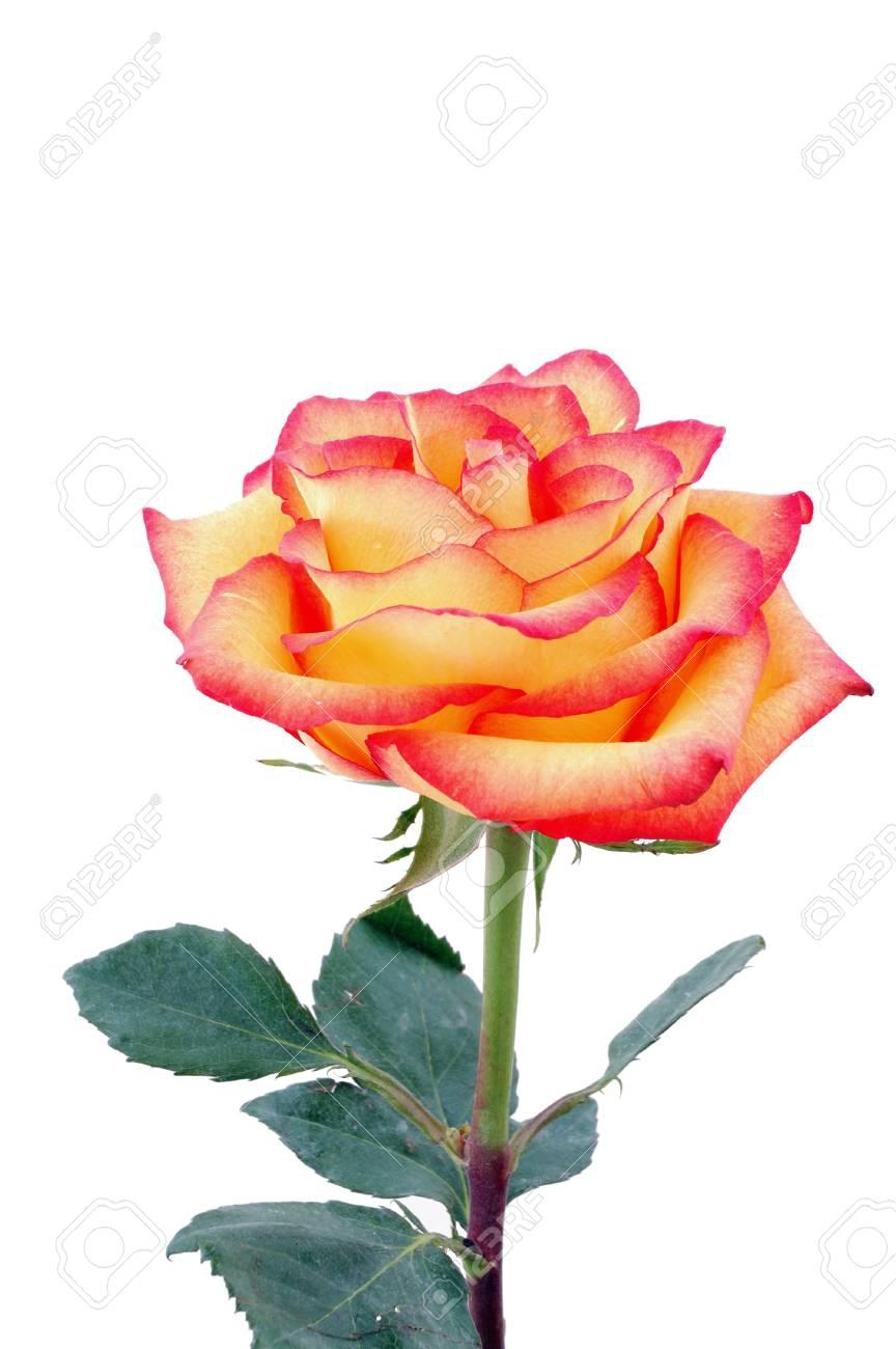 isolated peachy rose Stock Photo - 2863622