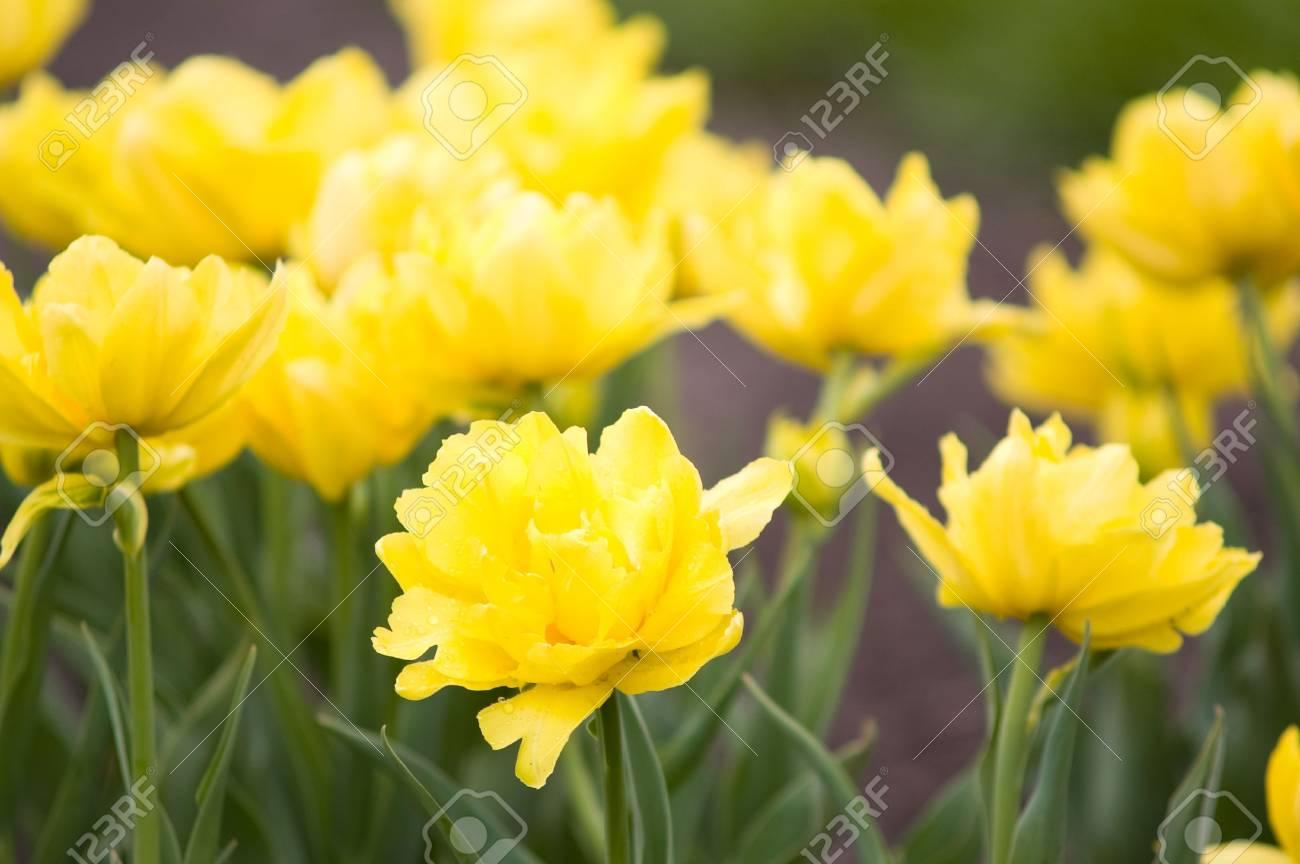 yellow bright spring tulips Stock Photo - 2997524