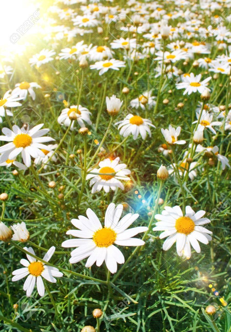 Field of daisy Stock Photo - 5967399