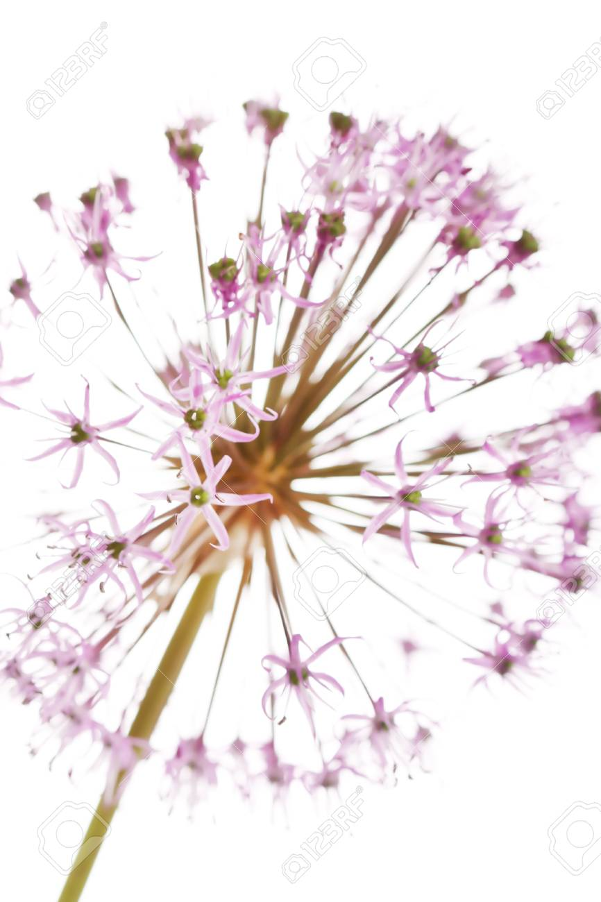 Close up of the flowers of some Chives Stock Photo - 7487878