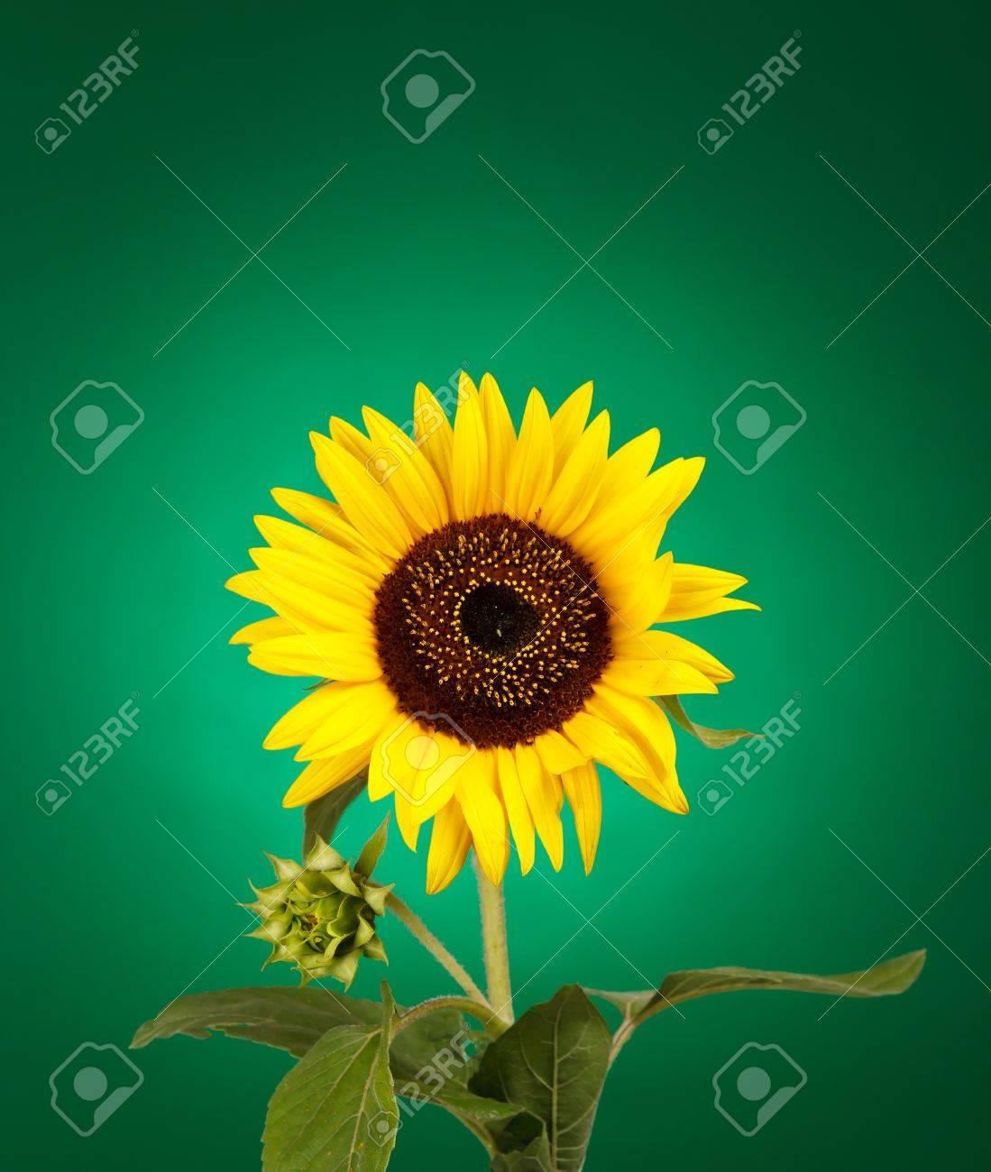 beautiful sunflower Stock Photo - 7731405