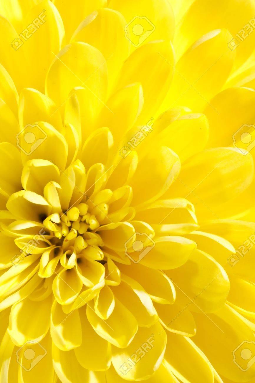 beautiful chrysanthemum Stock Photo - 8383913