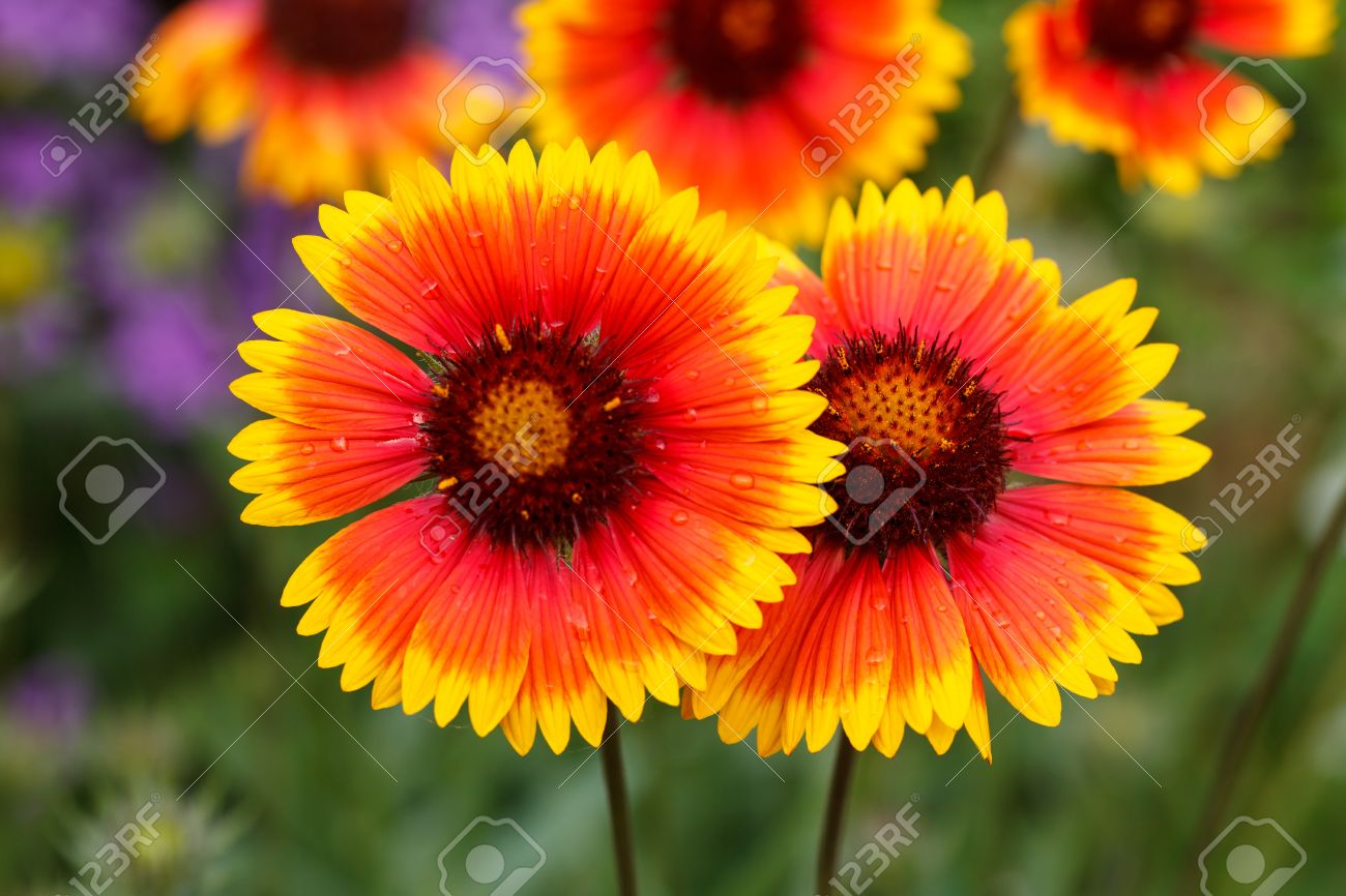 nice flowers stock photo, picture and royalty free image. image, Beautiful flower