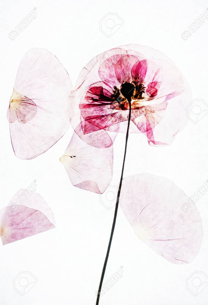 Dry Poppy Flowers Stock Photo Picture And Royalty Free Image Image