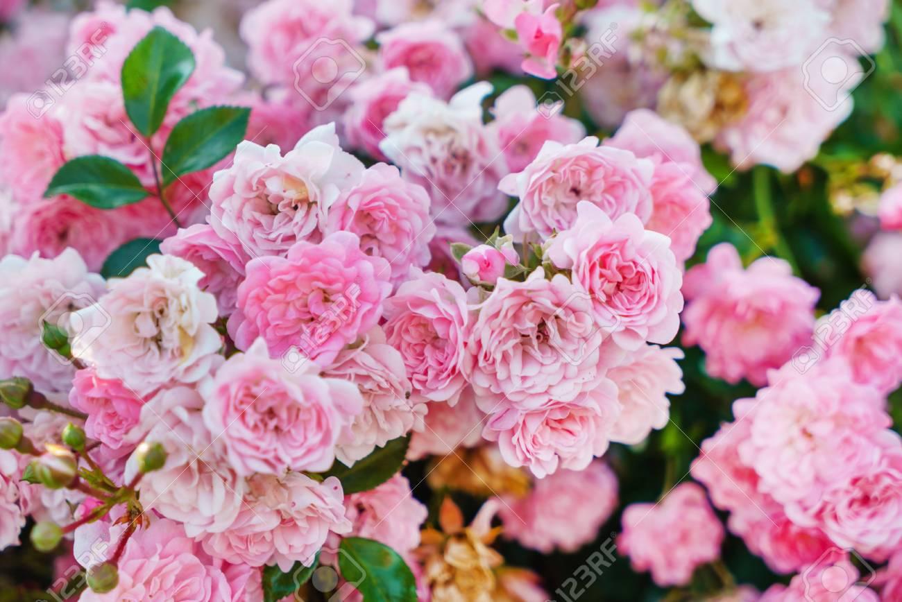 Bonitas Rosas En El Jardín Fotos Retratos Imágenes Y Fotografía De