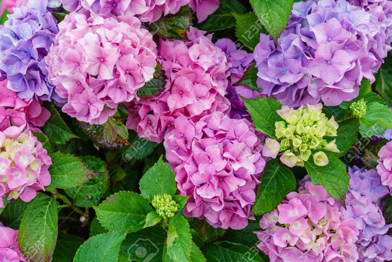 hydrangea flowers - 85688515