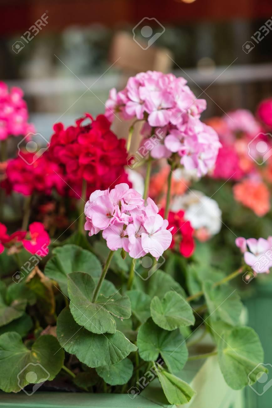 geranium flowers closeup - 115485853