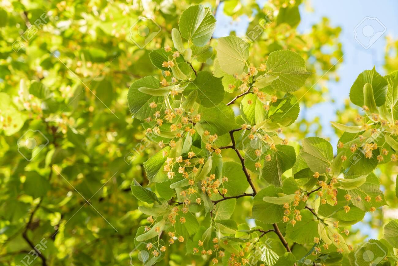 linden flowers closeup - 129566216