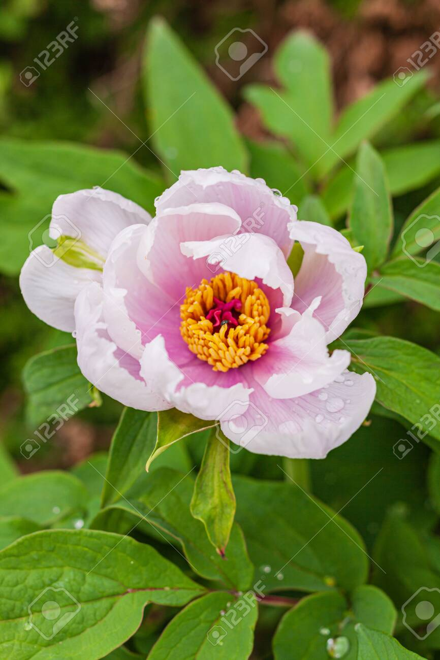 Tree Peony In The Garden Stock Photo Picture And Royalty Free