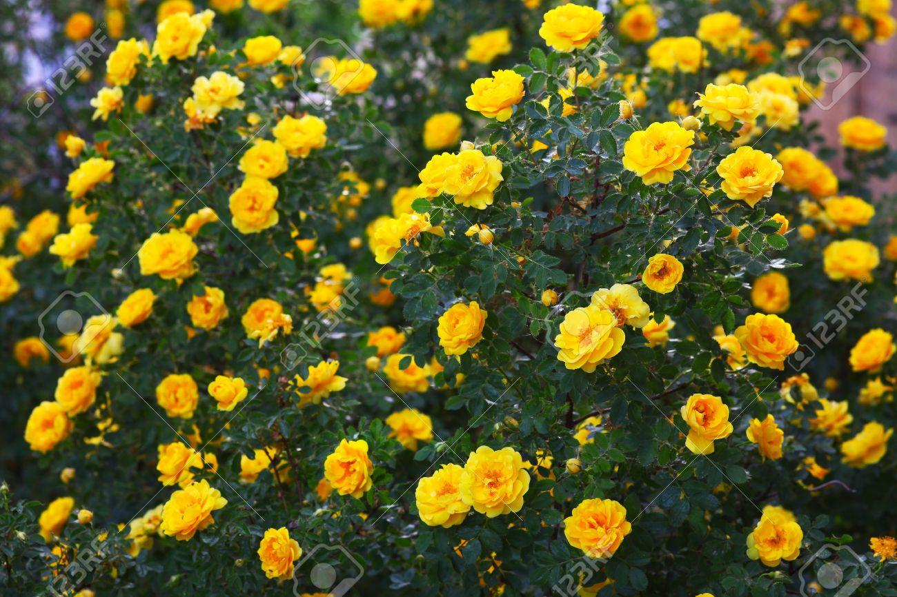 briar yellow rose bush flowers nature background wallpaper Stock Photo - 19822899