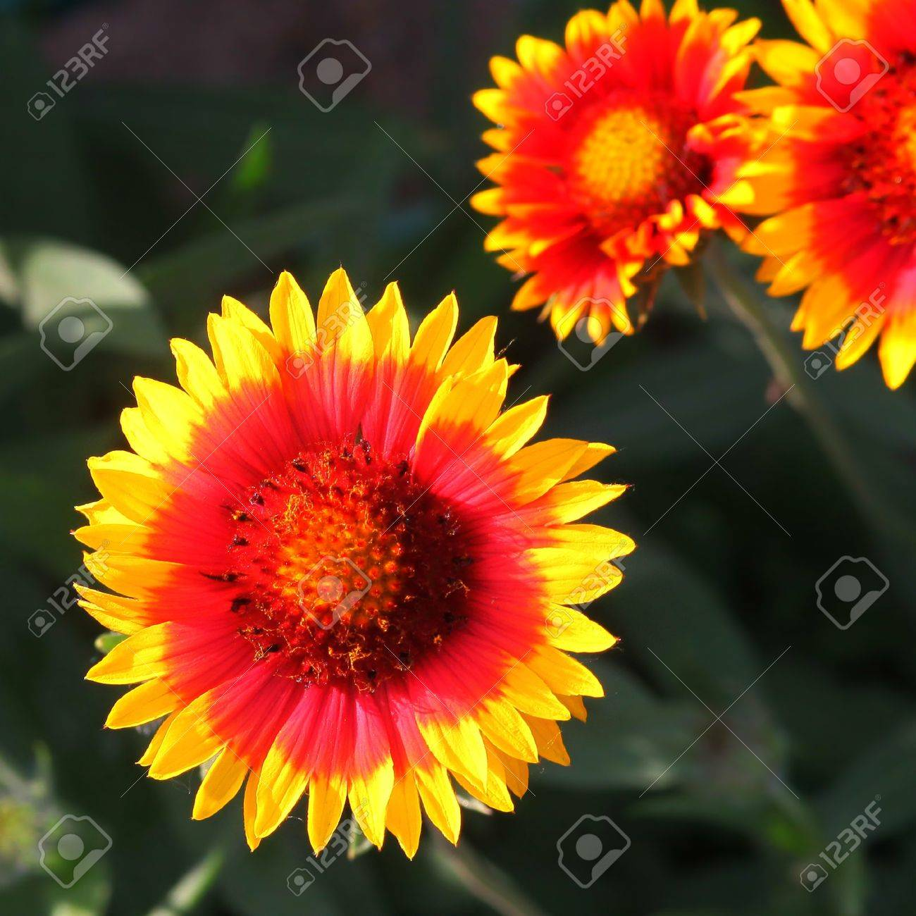 Red Yellow Flower Wallpaper Background Nature Summer Spring Stock Photo