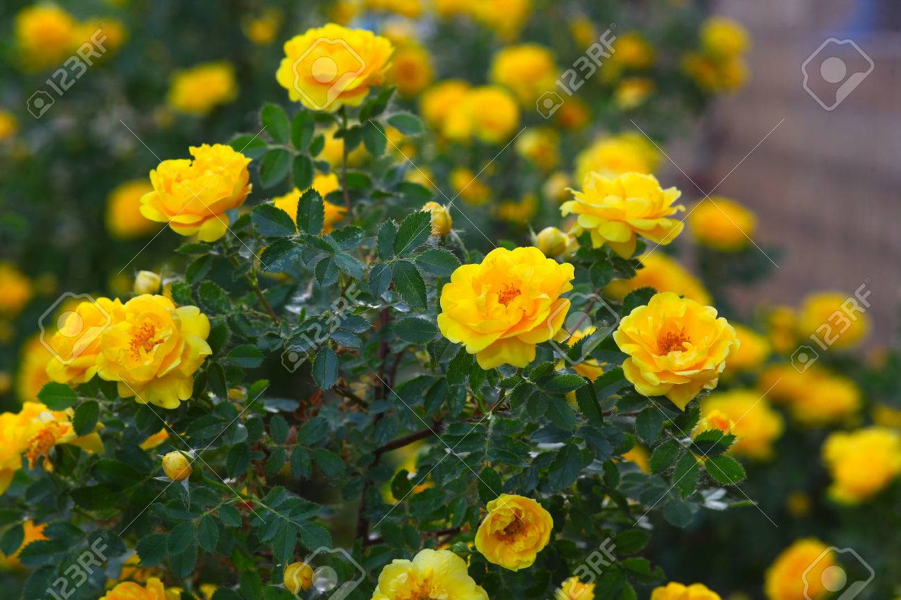 Yellow Rose Briar Bush Flowers Nature Wallpaper