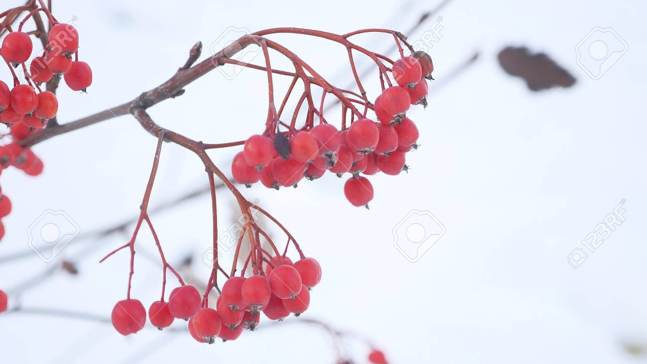 Rowan Branch Red Berries Nature Winter A Snow Stock Photo Picture