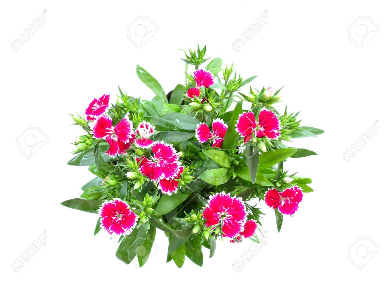 Plants With Beautiful Pink Flowers Isolated On White Background