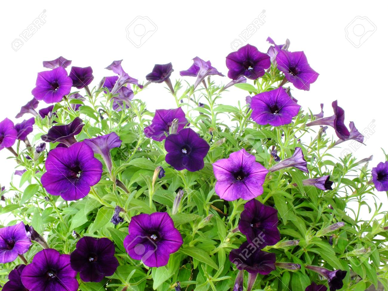 Purple Petunia Flowers Close Up On White Background Growing