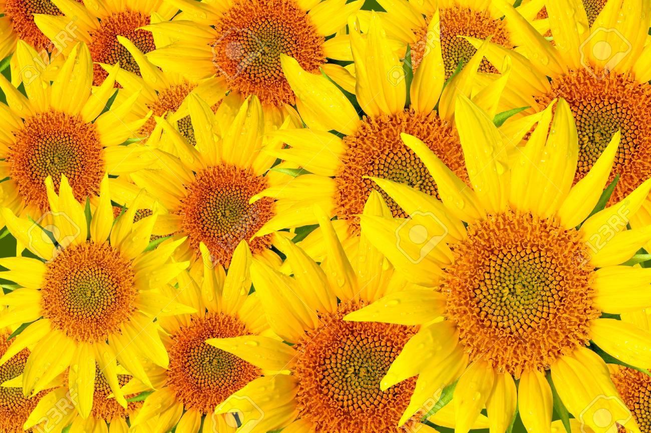 Sunflowers Stock Photo - 10830953