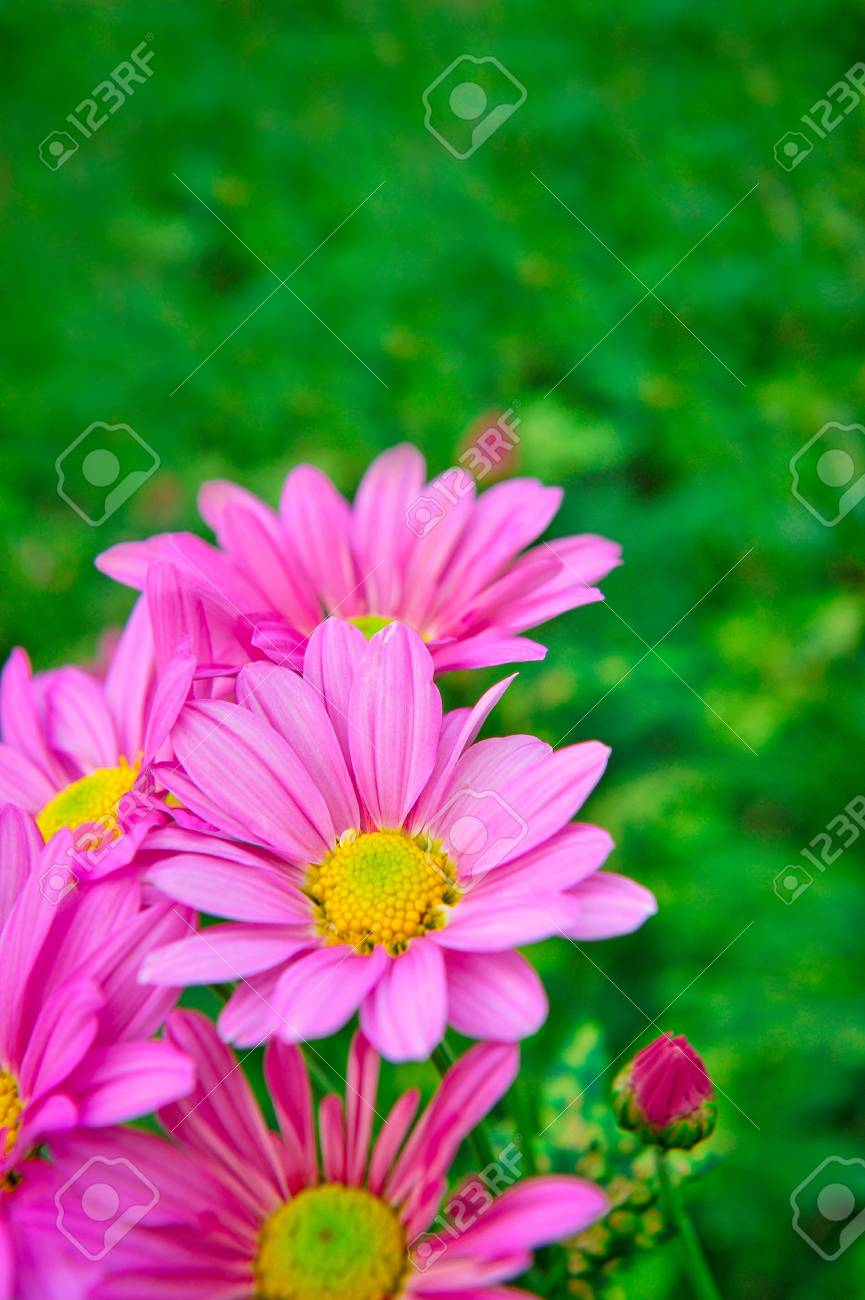 Blossom Pink Flower In A Beautiful Day Stock Photo Picture And