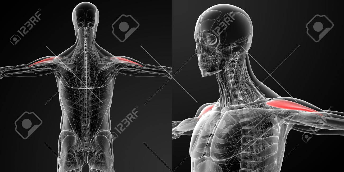 Medical Illustration Of The Anterior Deltoid Stock Photo Picture
