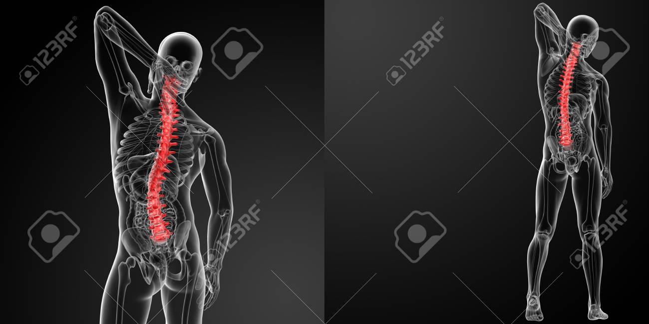 3d rendering Human Spine Anatomy