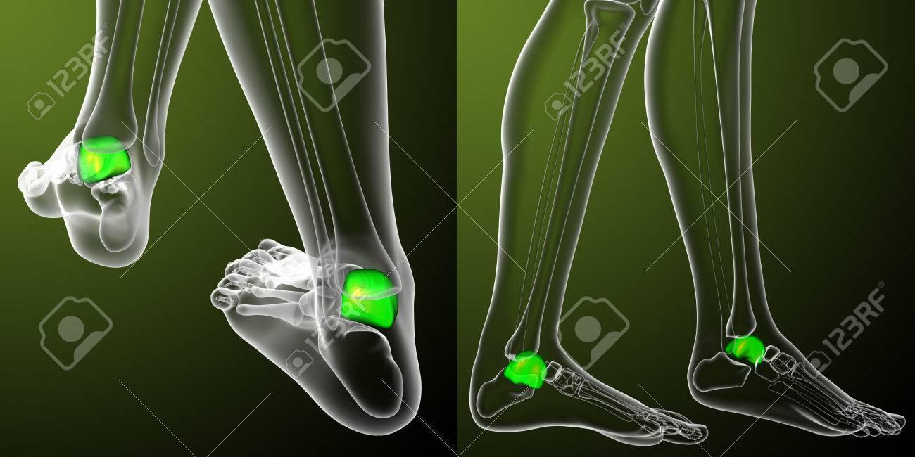 Representación 3D Ilustración Médica Del Hueso Del Astrágalo Fotos ...