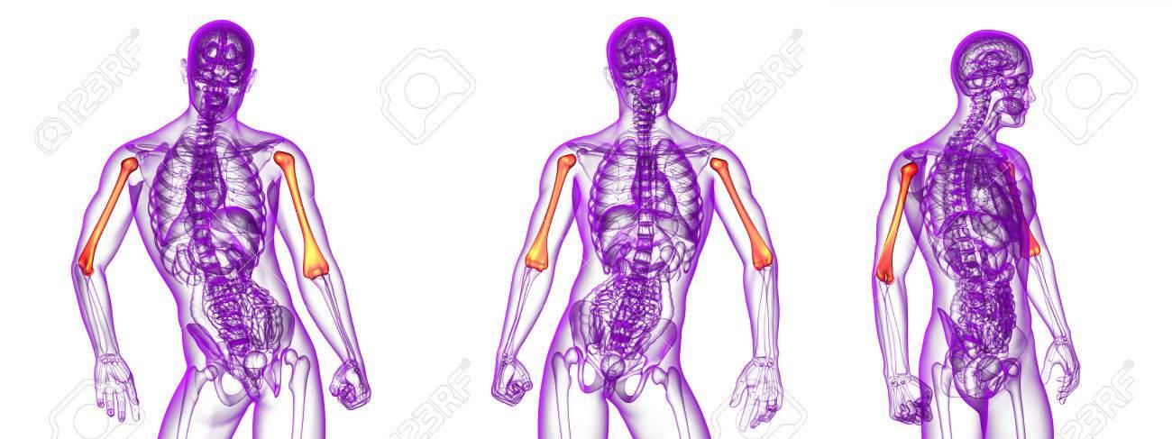 Procesamiento 3d Ilustración Médica Del Hueso Del Húmero Fotos ...