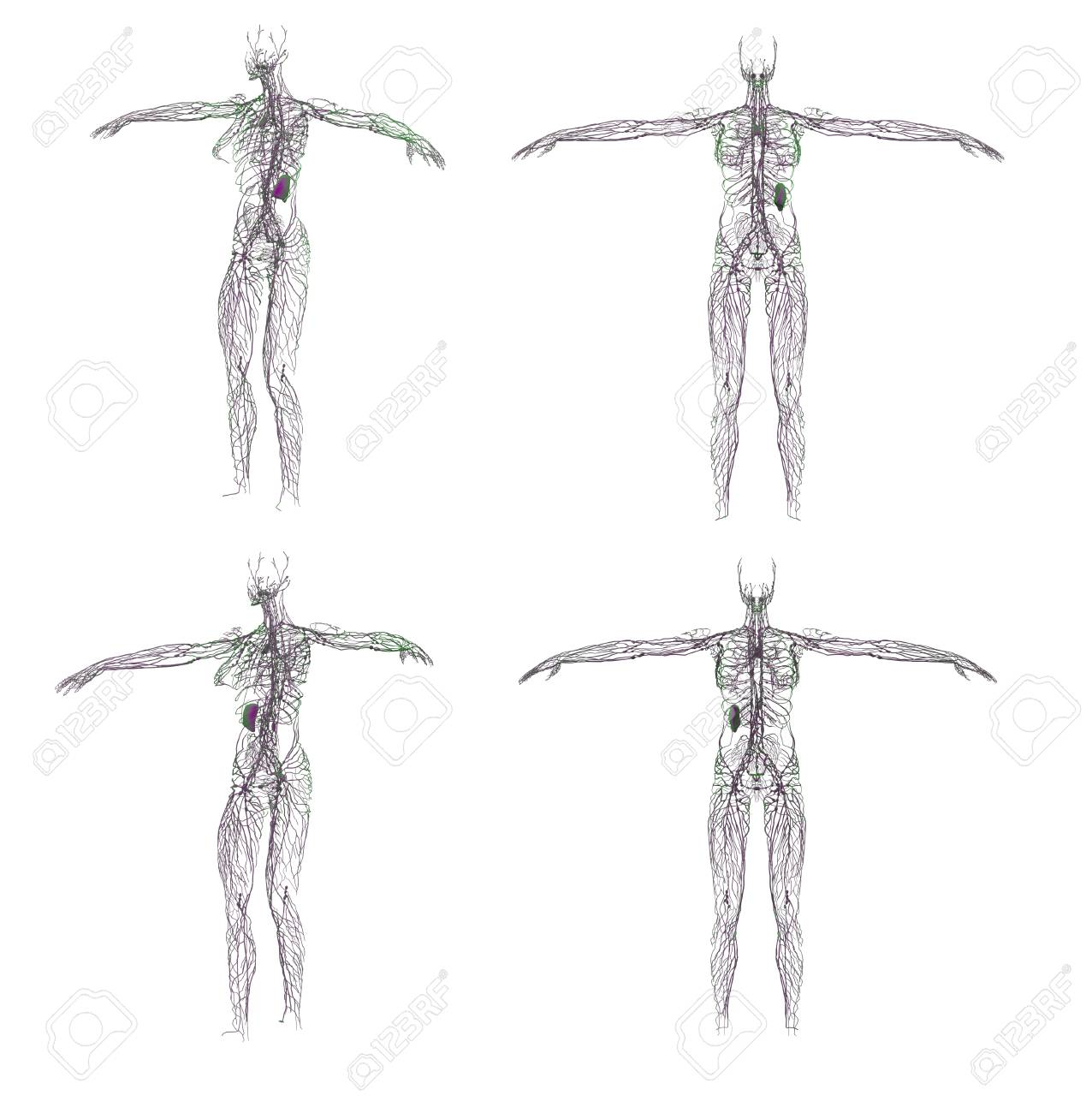 3d Rendering Illustration Of The Lymphatic System Stock Photo