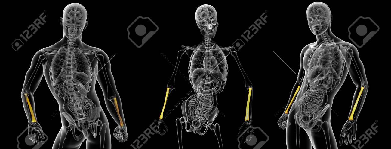 3d Rendering Illustration Of The Radius Bone Stock Photo Picture