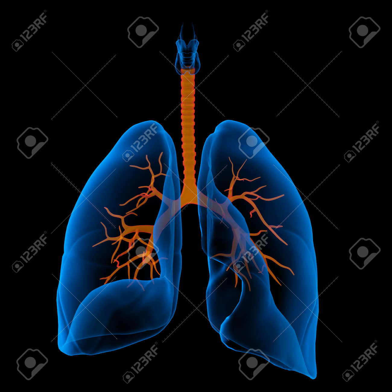 3D medical illustration - lungs with visible bronchi -front view - 168787184
