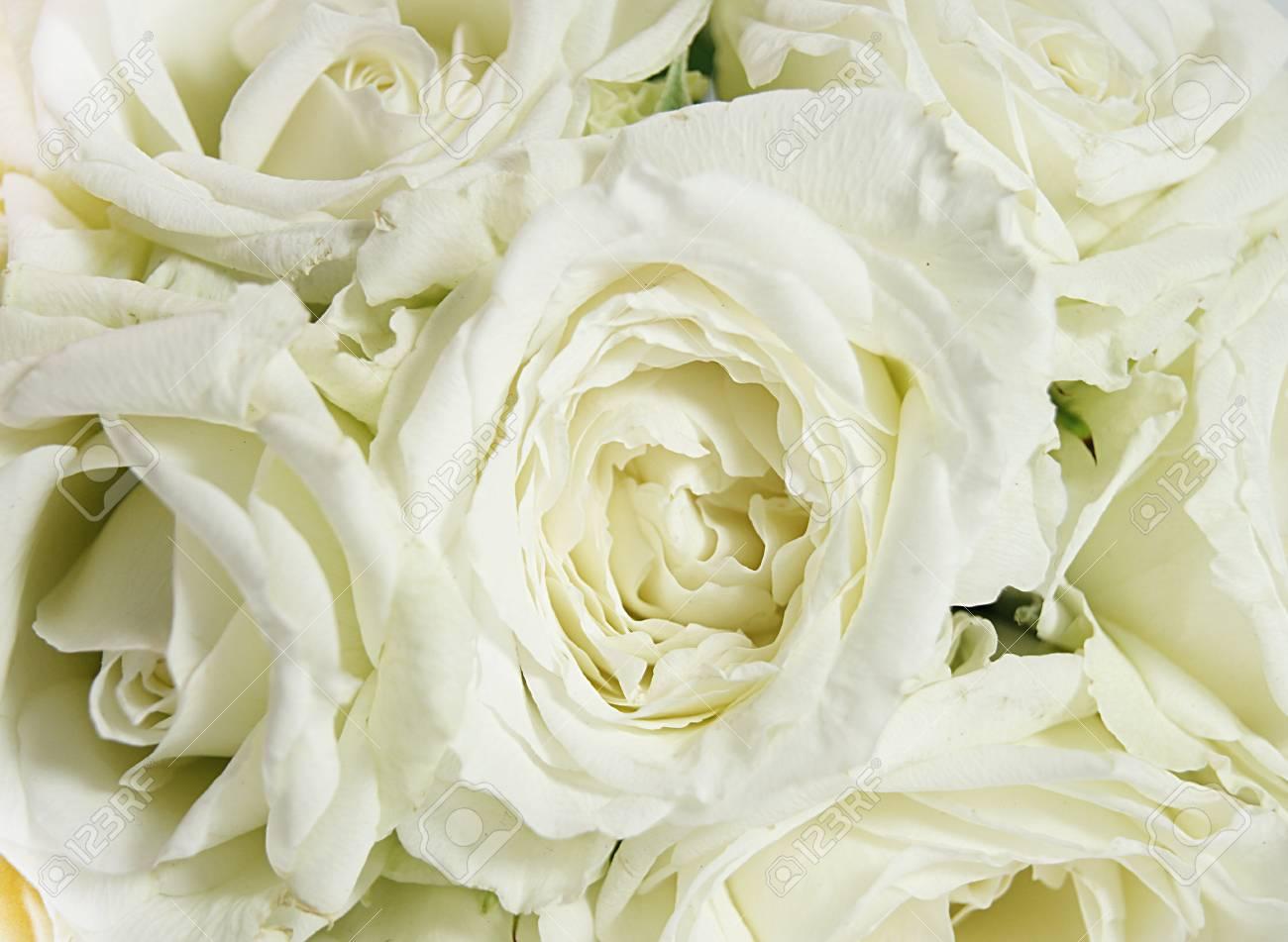 white roses Stock Photo - 11494378