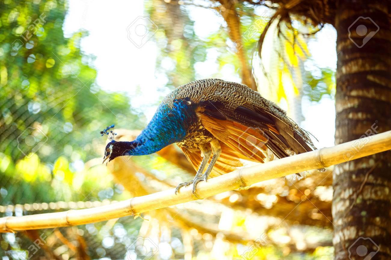 Beau paon est assis sur une branche de bambou à l'extérieur en arrière-plan du parc asiatique. Banque d'images - 81760017