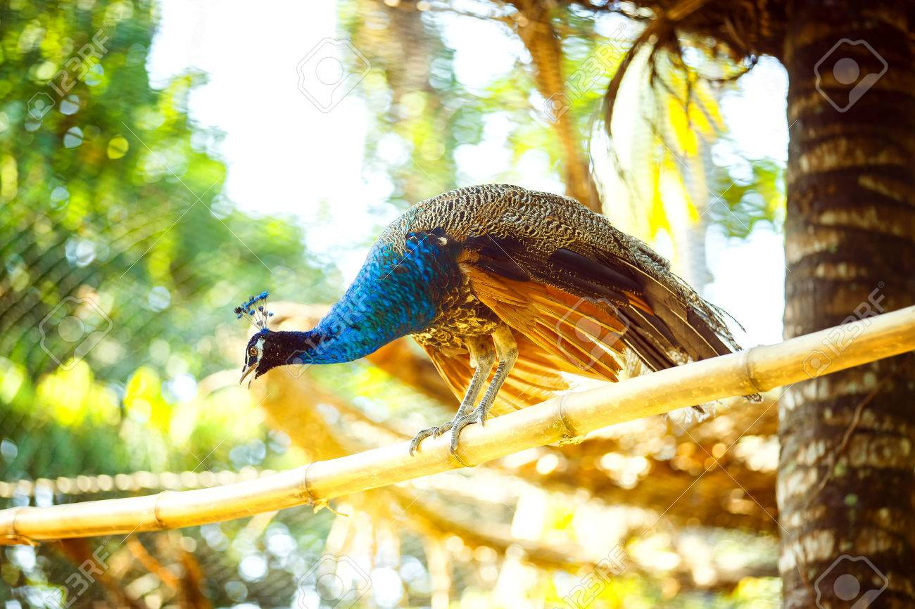 Beautiful peacock is sitting on bamboo branch outdoors at asian park background. Foto de archivo - 81760017