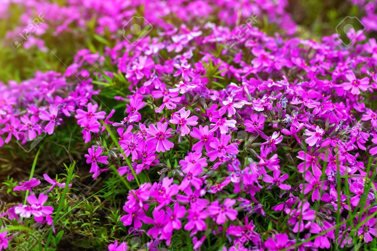 Fleurs De Verveine Violette Au Fond De Jardin D\'été. Banque D\'Images ...