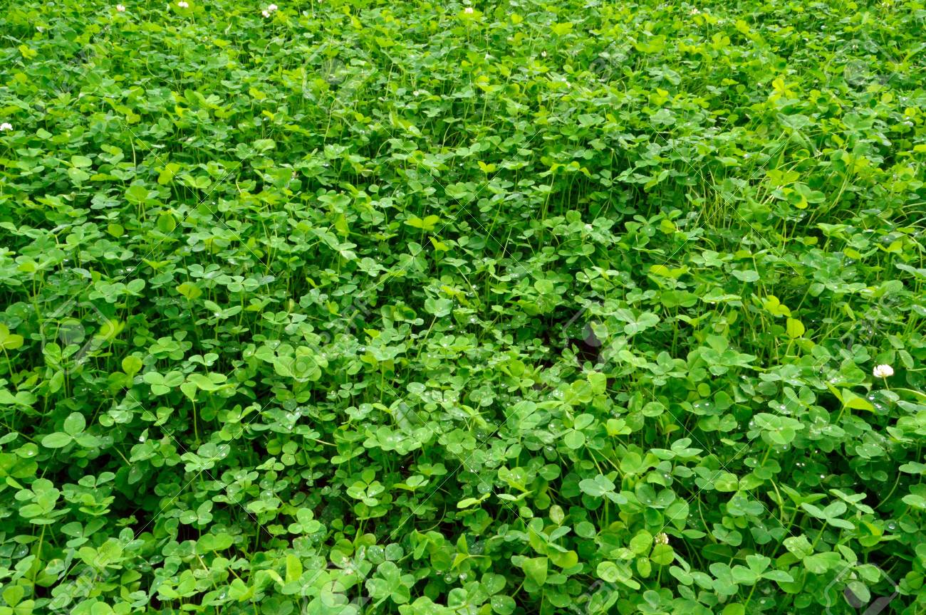plantation of green flowering clover with drops Stock Photo - 21089654