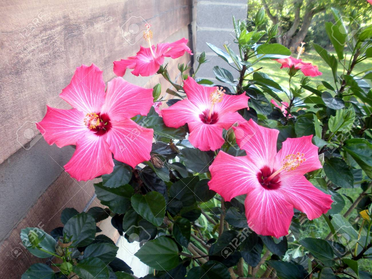 Pink Hibiscus Tree Stock Photo Picture And Royalty Free Image