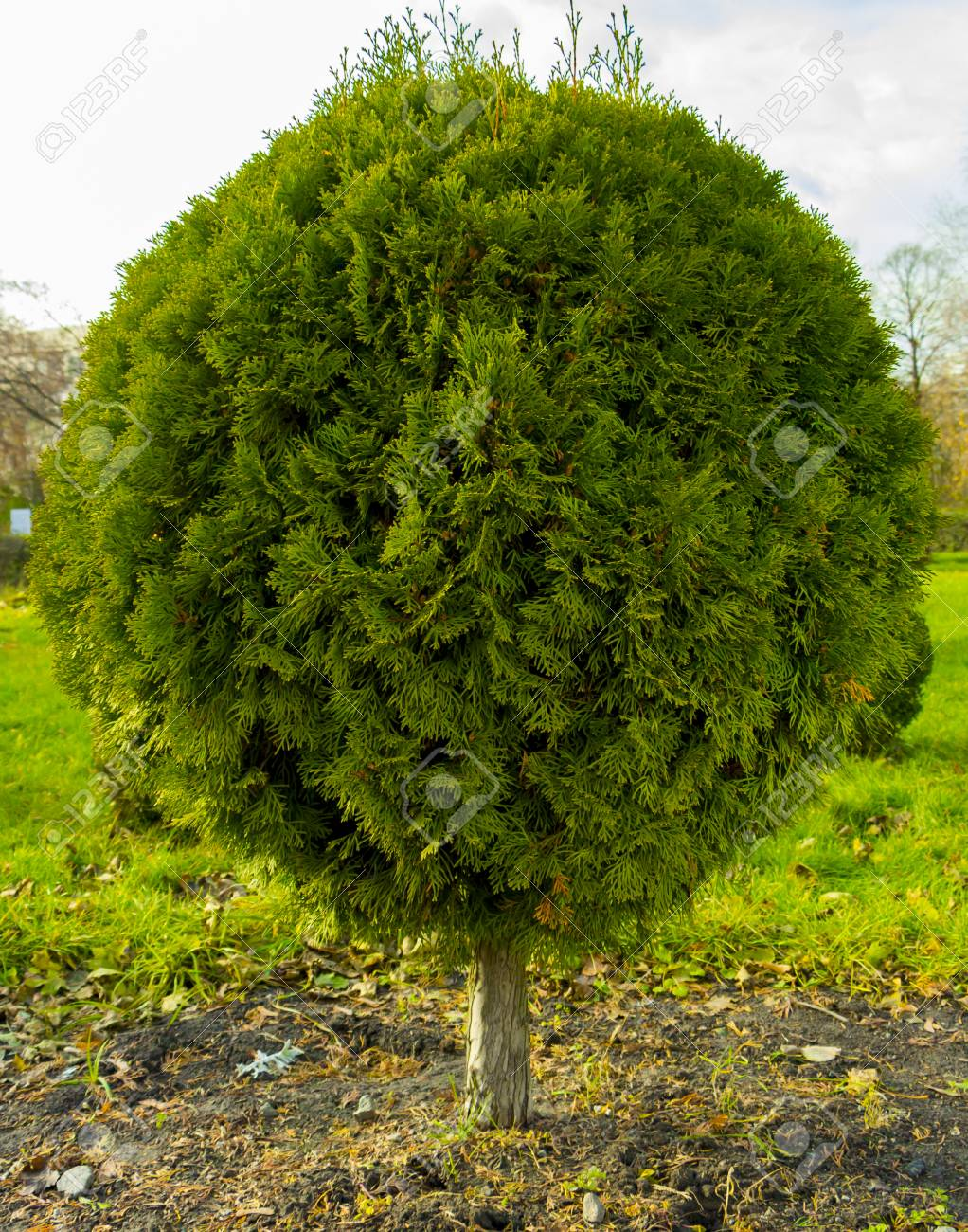Application Of Globular Shredded Thuja In A Landscape Design Stock Photo Picture And Royalty Free Image Image 90737053