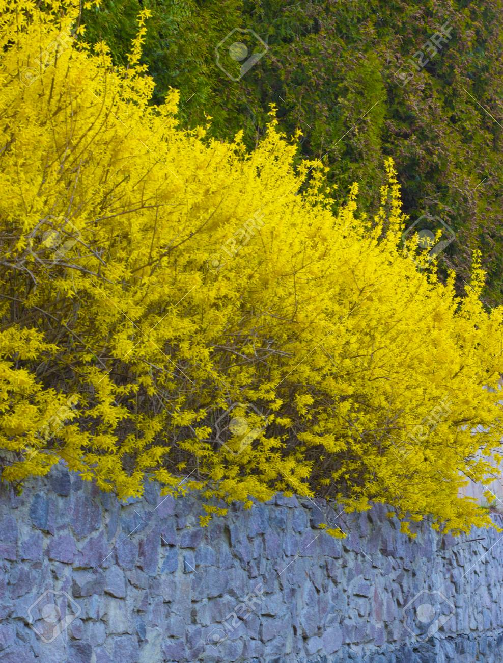 Forsythia A Bush Blooming In Early Spring Bright Yellow Stock