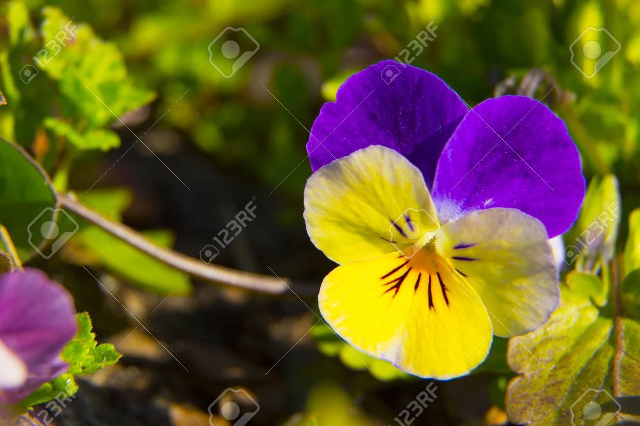 Violettes Fleurs Pensee Orange Fond De Pres Banque D Images Et