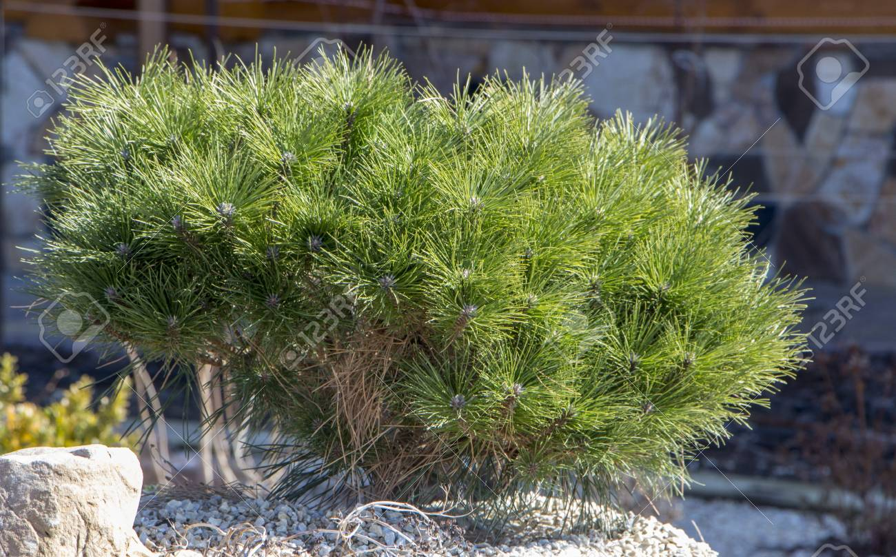 Pumilio mountain pine: planting and care, features of growing and breeding 87