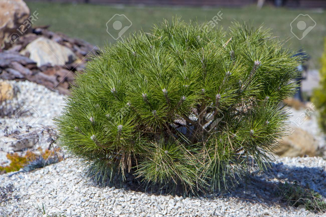 Pumilio mountain pine: planting and care, features of growing and breeding 96