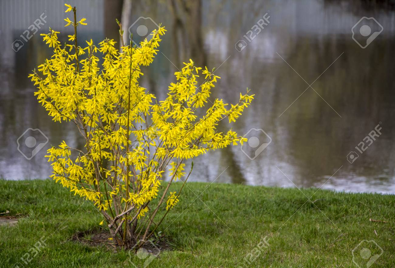 Blooming Forsythia In Early Spring Yellow Flowers Background Stock