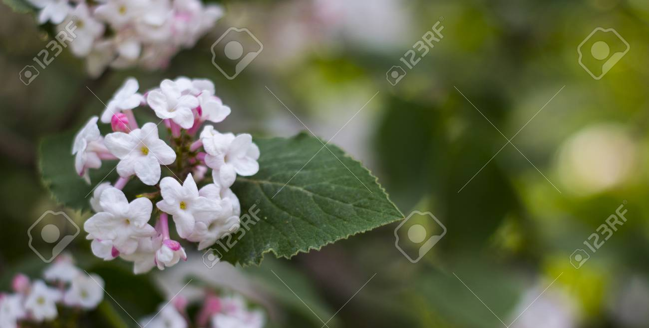 Delicate white and pink flowers of a korean viburnum viburnum delicate white and pink flowers of a korean viburnum viburnum carlesii belongs to the family mightylinksfo