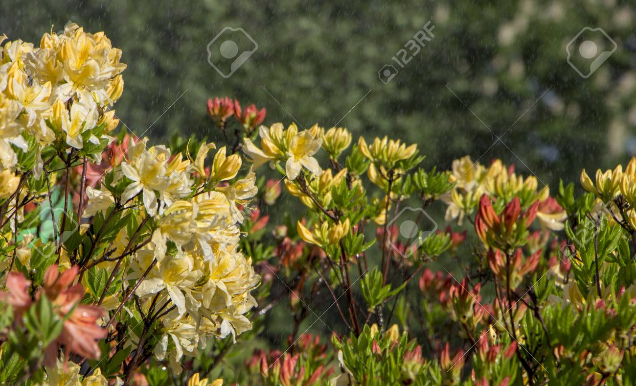 Rhododendron Azalea Mollis Azalea Molle Bush With Yellow Flowers