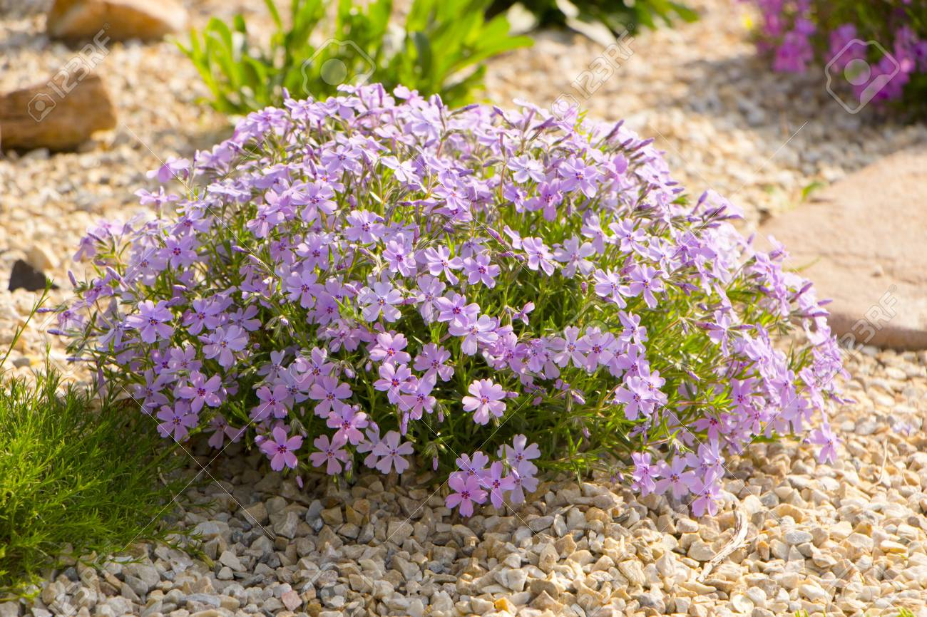 Purple Creeping Phlox On The Flowerbed The Ground Cover Is