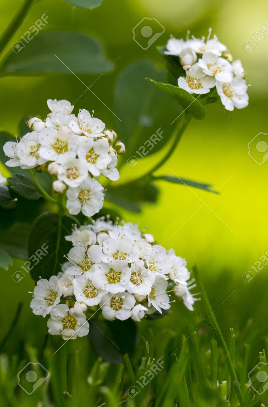Spiraea White Flowers On The Background Of Green Leaf An Ornamental