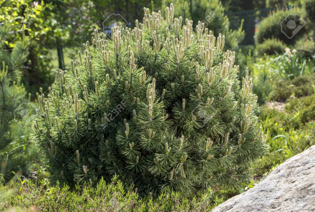 Pumilio mountain pine: planting and care, features of growing and breeding 10