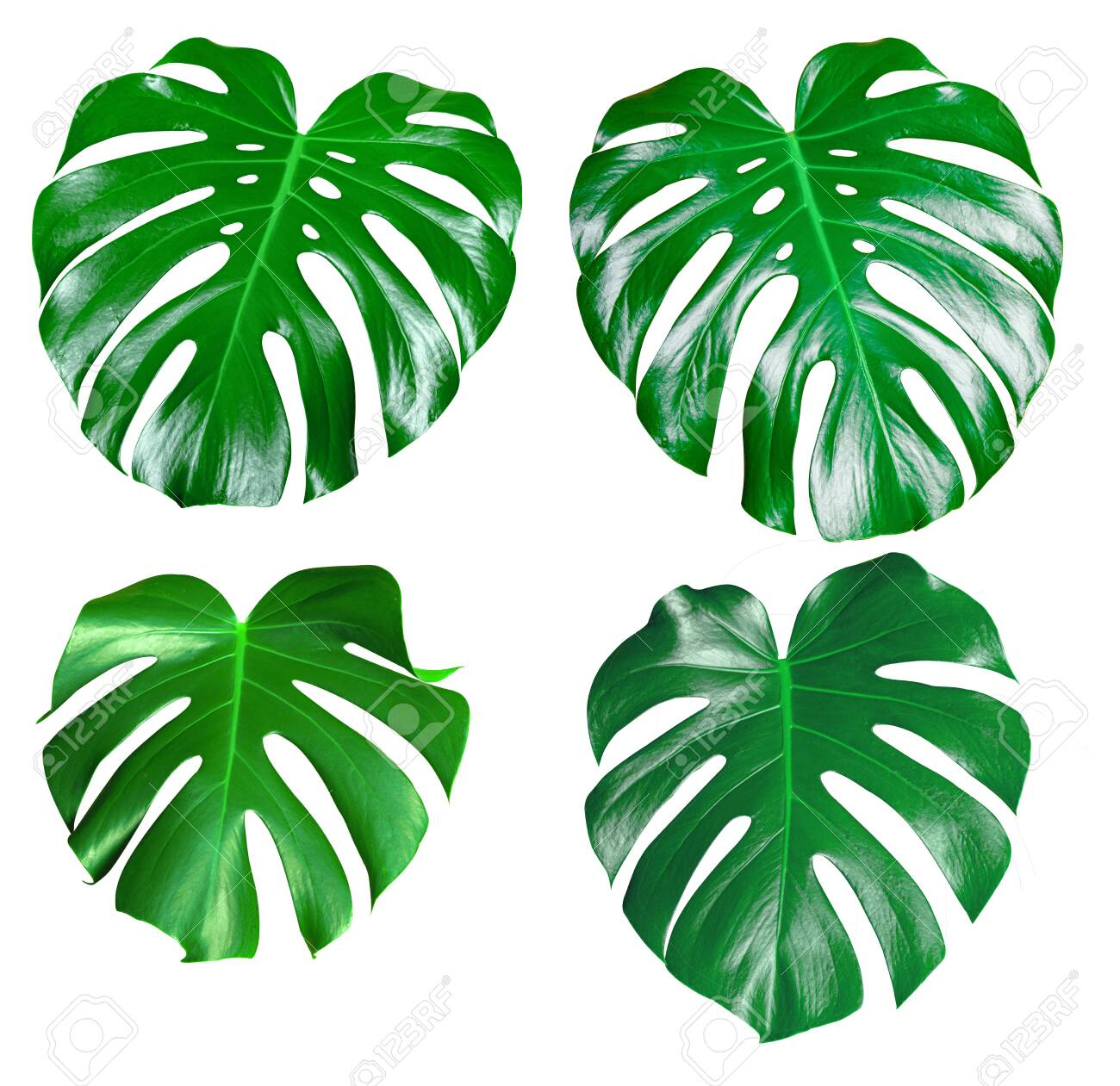 Monstera green juicy fresh leaf isolated on a white background - 139142660