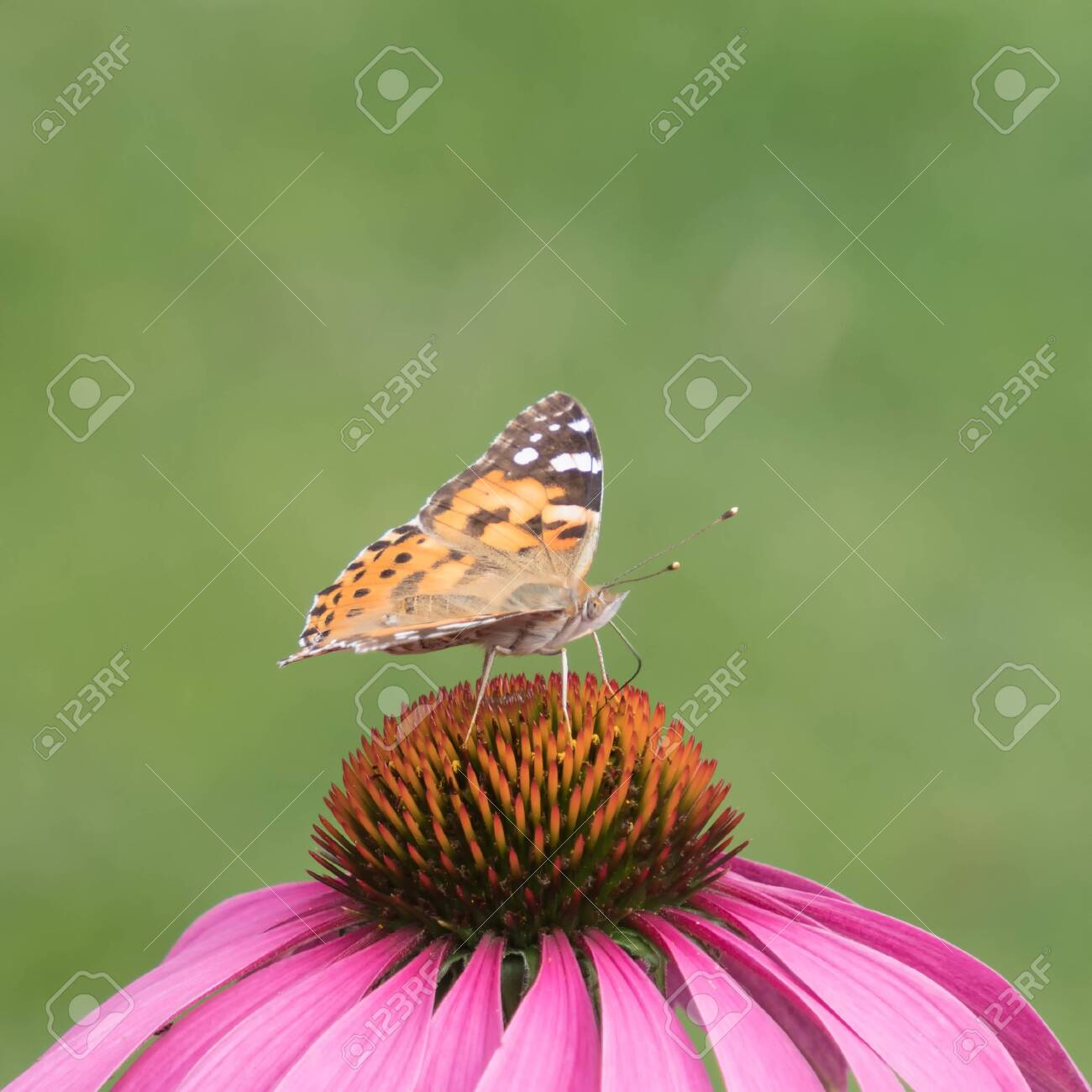 close-up of a painted lady (Vanessa cardui) on the blossom of a coneflower - 146409526